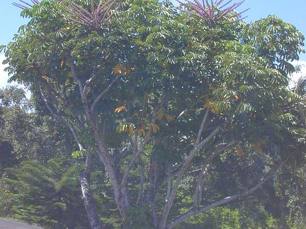 Octopus Tree (Schefflera Actinophylla) http://www.sagebud.com/octopus-tree-schefflera-actinophylla/