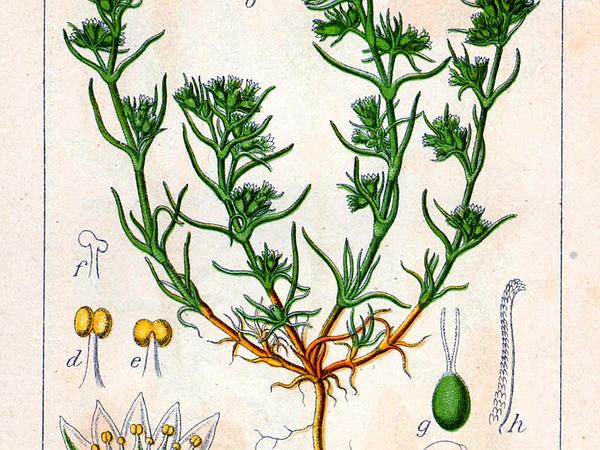 German Knotgrass (Scleranthus Annuus) http://www.sagebud.com/german-knotgrass-scleranthus-annuus/