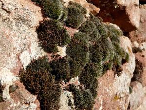 Schistidium Moss