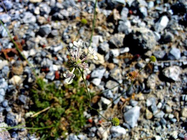 Mourningbride (Scabiosa Atropurpurea) http://www.sagebud.com/mourningbride-scabiosa-atropurpurea/
