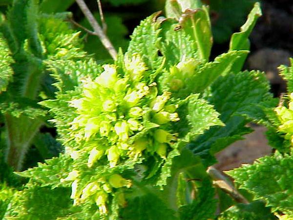 Shoreline Figwort (Scrophularia Auriculata) http://www.sagebud.com/shoreline-figwort-scrophularia-auriculata