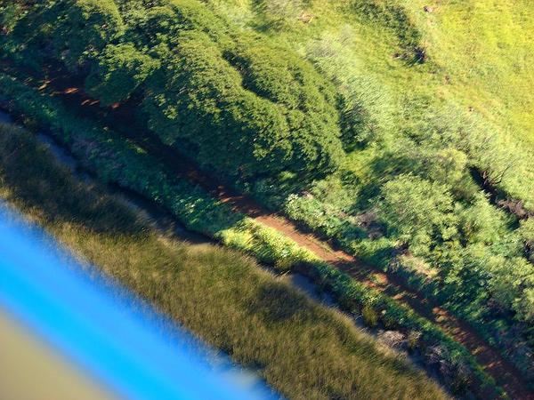 California Bulrush (Schoenoplectus Californicus) http://www.sagebud.com/california-bulrush-schoenoplectus-californicus