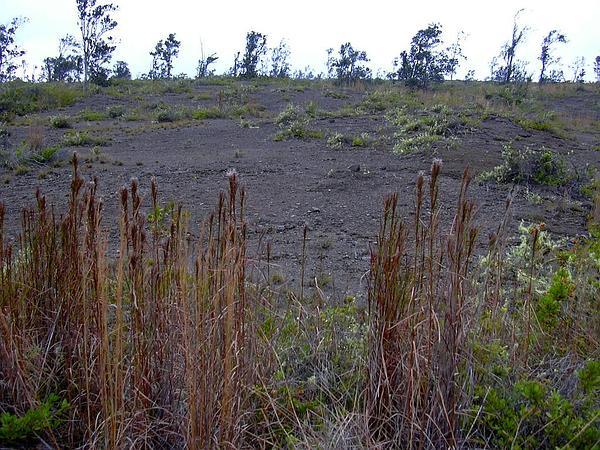 Colombian Bluestem (Schizachyrium Condensatum) http://www.sagebud.com/colombian-bluestem-schizachyrium-condensatum
