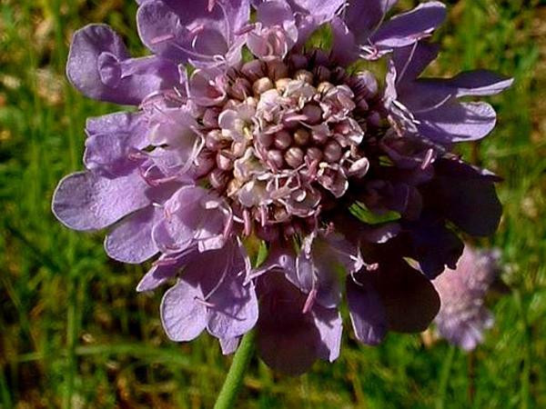 Dove Pincushions (Scabiosa Columbaria) http://www.sagebud.com/dove-pincushions-scabiosa-columbaria/