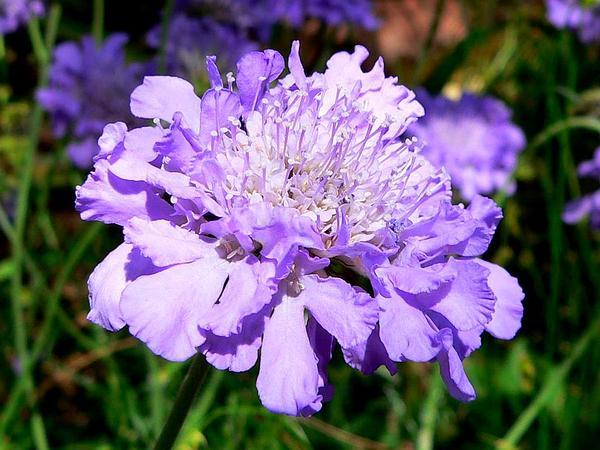 Dove Pincushions (Scabiosa Columbaria) http://www.sagebud.com/dove-pincushions-scabiosa-columbaria