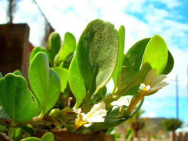 Dwarf Naupaka (Scaevola Coriacea) http://www.sagebud.com/dwarf-naupaka-scaevola-coriacea