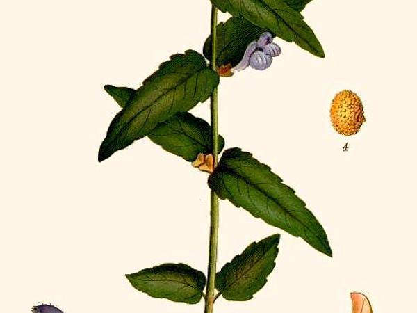 Marsh Skullcap (Scutellaria Galericulata) http://www.sagebud.com/marsh-skullcap-scutellaria-galericulata