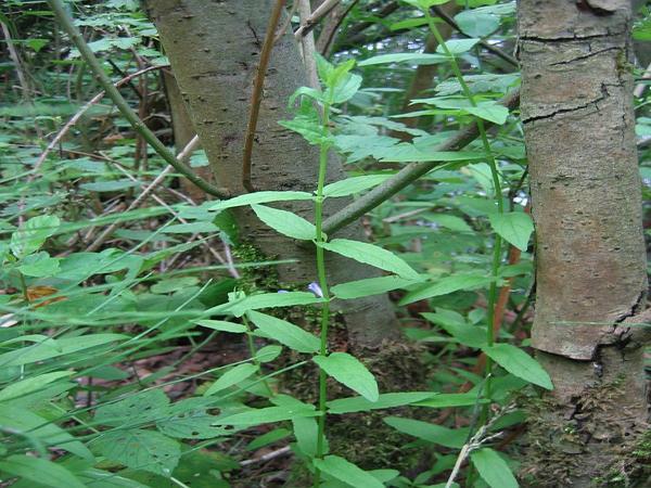 Marsh Skullcap (Scutellaria Galericulata) http://www.sagebud.com/marsh-skullcap-scutellaria-galericulata/