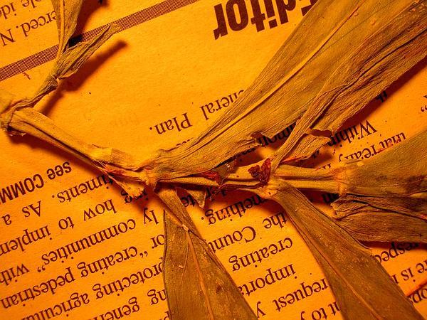Globe Schiedea (Schiedea Globosa) http://www.sagebud.com/globe-schiedea-schiedea-globosa