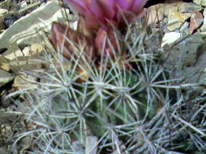Uinta Basin Hookless Cactus