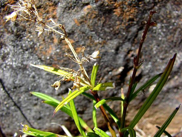 Haleakala Schiedea (Schiedea Haleakalensis) http://www.sagebud.com/haleakala-schiedea-schiedea-haleakalensis