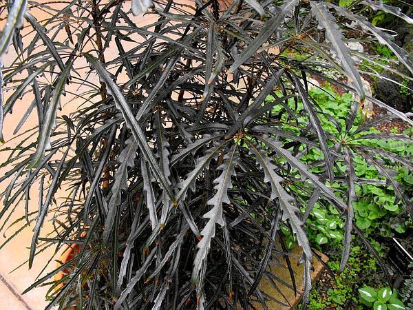 Schefflera (Schefflera) http://www.sagebud.com/schefflera-schefflera/