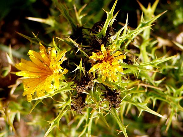 Common Goldenthistle (Scolymus Hispanicus) http://www.sagebud.com/common-goldenthistle-scolymus-hispanicus