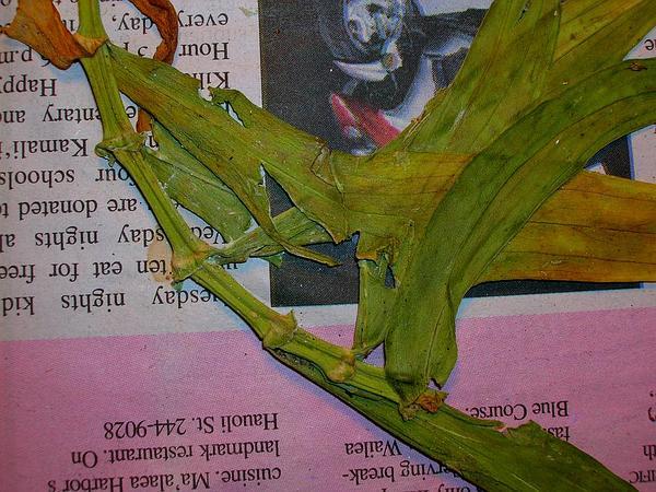 Schiedea (Schiedea) http://www.sagebud.com/schiedea-schiedea