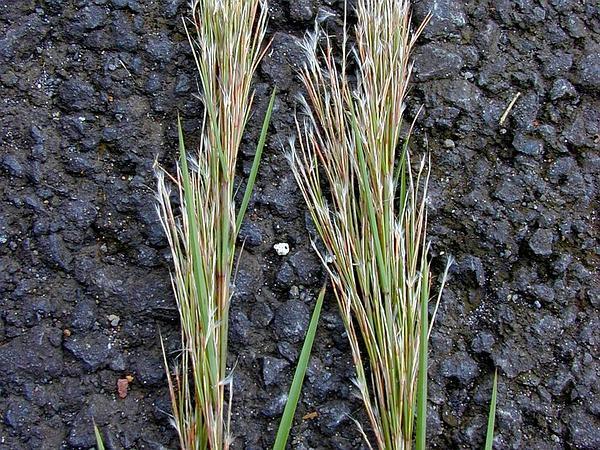 Little Bluestem (Schizachyrium) http://www.sagebud.com/little-bluestem-schizachyrium/