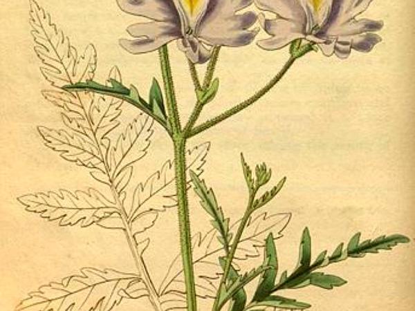 Schizanthus (Schizanthus) http://www.sagebud.com/schizanthus-schizanthus
