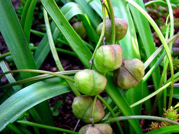 Scilla (Scilla) http://www.sagebud.com/scilla-scilla/
