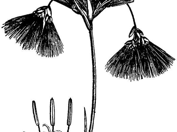 Bulrush (Scirpus) http://www.sagebud.com/bulrush-scirpus