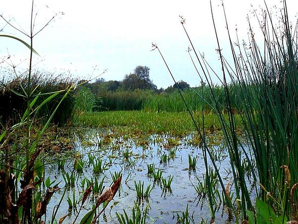 Lakeshore Bulrush (Schoenoplectus Lacustris) http://www.sagebud.com/lakeshore-bulrush-schoenoplectus-lacustris