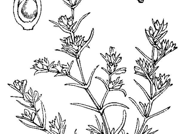 German Knotgrass (Scleranthus) http://www.sagebud.com/german-knotgrass-scleranthus