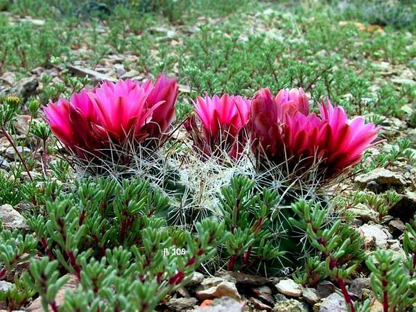 Fishhook Cactus (Sclerocactus) http://www.sagebud.com/fishhook-cactus-sclerocactus/