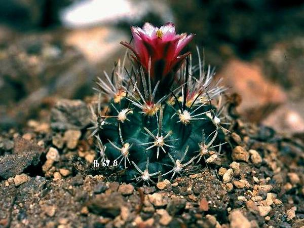 Fishhook Cactus (Sclerocactus) http://www.sagebud.com/fishhook-cactus-sclerocactus
