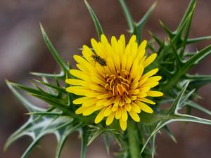 Spotted Goldenthistle
