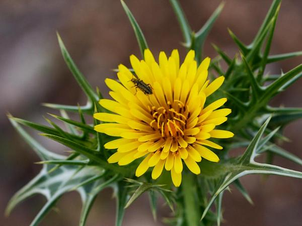 Spotted Goldenthistle (Scolymus Maculatus) http://www.sagebud.com/spotted-goldenthistle-scolymus-maculatus