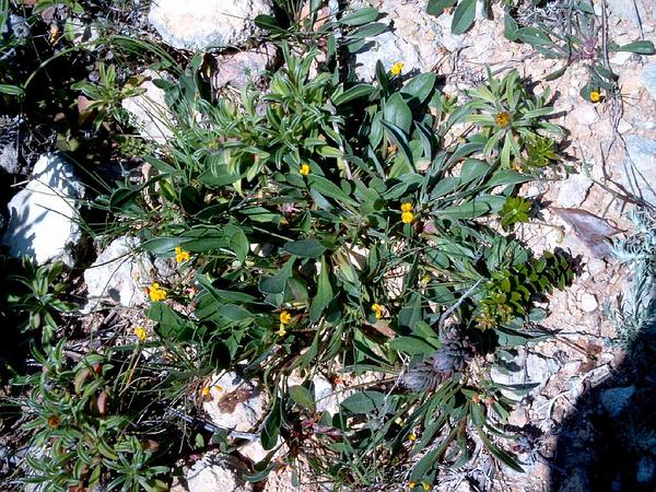 Prickly Scorpion's-Tail (Scorpiurus Muricatus) http://www.sagebud.com/prickly-scorpions-tail-scorpiurus-muricatus/