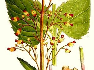 Woodland Figwort