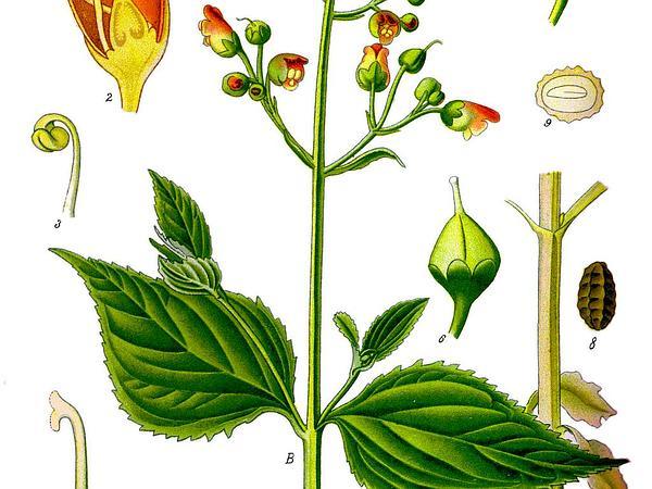 Woodland Figwort (Scrophularia Nodosa) http://www.sagebud.com/woodland-figwort-scrophularia-nodosa