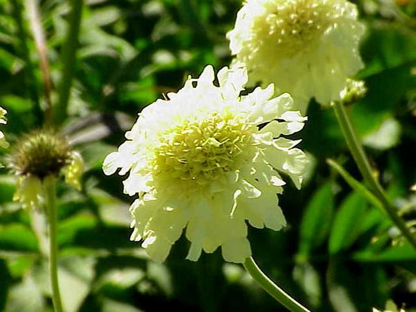 Cream Pincushions (Scabiosa Ochroleuca) http://www.sagebud.com/cream-pincushions-scabiosa-ochroleuca