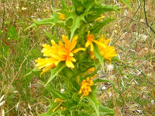 Goldenthistle (Scolymus)