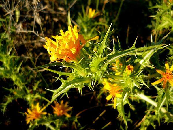 Goldenthistle (Scolymus) http://www.sagebud.com/goldenthistle-scolymus