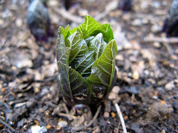Scopolia (Scopolia) http://www.sagebud.com/scopolia-scopolia