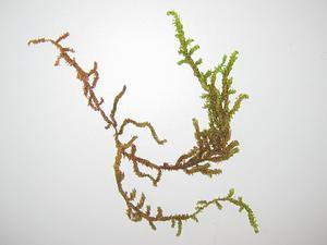 Scorpidium Moss
