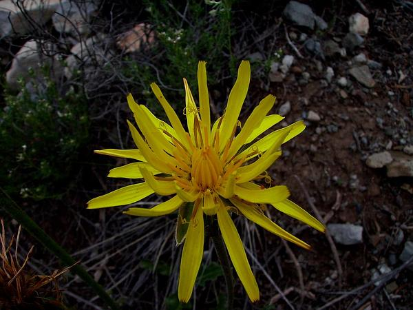 Scorzonera (Scorzonera) http://www.sagebud.com/scorzonera-scorzonera