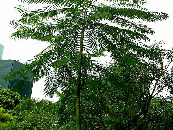 Brazilian Firetree (Schizolobium Parahybum) http://www.sagebud.com/brazilian-firetree-schizolobium-parahybum/