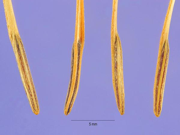 Shepherdsneedle (Scandix Pecten-Veneris) http://www.sagebud.com/shepherdsneedle-scandix-pecten-veneris