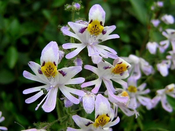 Poorman's Orchid (Schizanthus Pinnatus) http://www.sagebud.com/poormans-orchid-schizanthus-pinnatus/