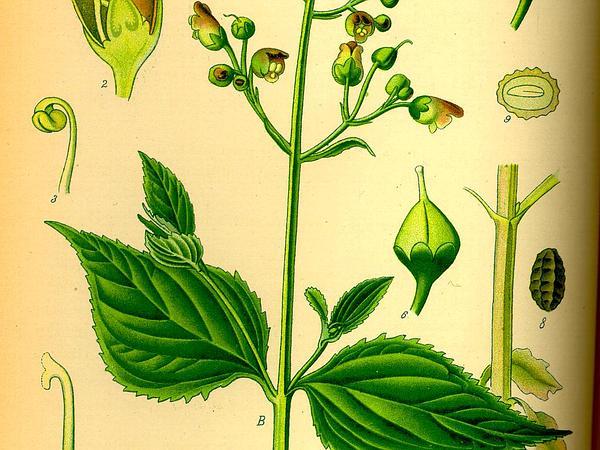 Figwort (Scrophularia) http://www.sagebud.com/figwort-scrophularia/