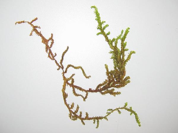Scorpidium Moss (Scorpidium Scorpioides) http://www.sagebud.com/scorpidium-moss-scorpidium-scorpioides