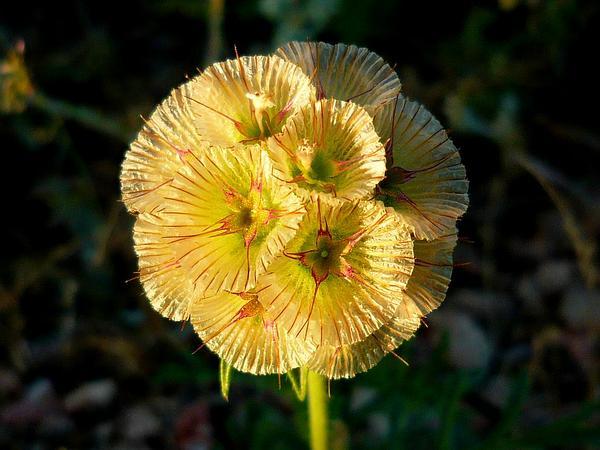 Starflower Pincushions (Scabiosa Stellata) http://www.sagebud.com/starflower-pincushions-scabiosa-stellata