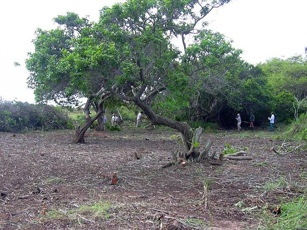 Brazilian Peppertree (Schinus Terebinthifolius) http://www.sagebud.com/brazilian-peppertree-schinus-terebinthifolius/
