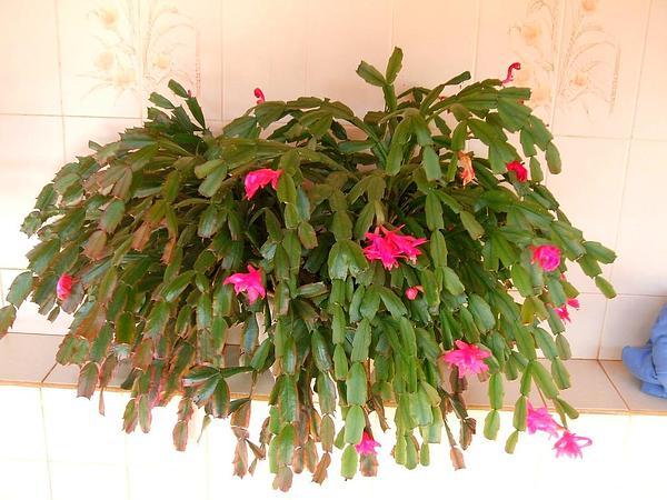 False Christmas Cactus (Schlumbergera Truncata) http://www.sagebud.com/false-christmas-cactus-schlumbergera-truncata/