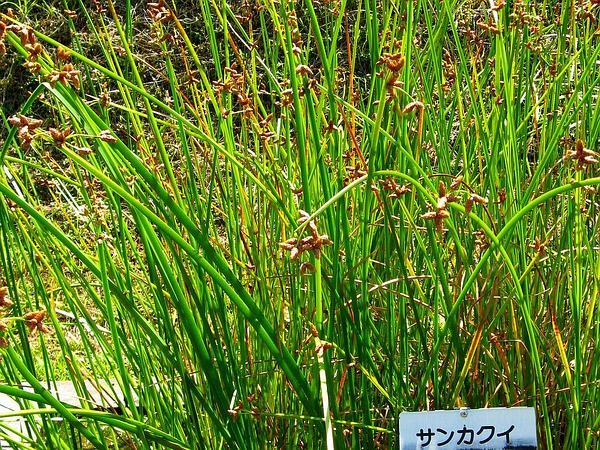 Streambank Bulrush (Schoenoplectus Triqueter) http://www.sagebud.com/streambank-bulrush-schoenoplectus-triqueter/