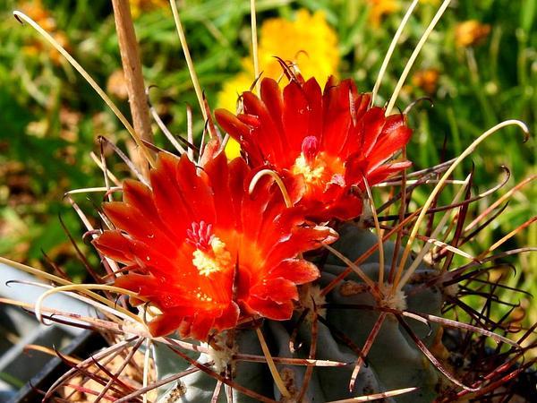 Chihuahuan Fishhook Cactus (Sclerocactus Uncinatus) http://www.sagebud.com/chihuahuan-fishhook-cactus-sclerocactus-uncinatus