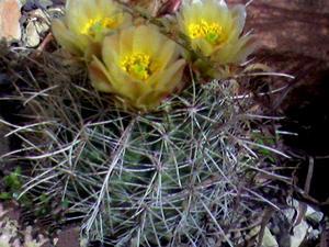 Wright's Fishhook Cactus
