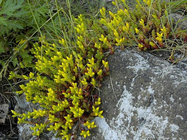 Goldmoss Stonecrop (Sedum Acre) http://www.sagebud.com/goldmoss-stonecrop-sedum-acre