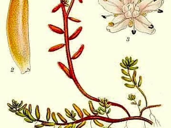 White Stonecrop (Sedum Album) http://www.sagebud.com/white-stonecrop-sedum-album